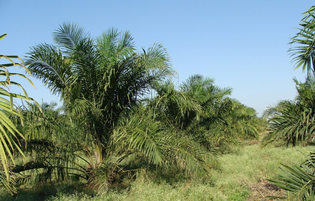 what is palm oil