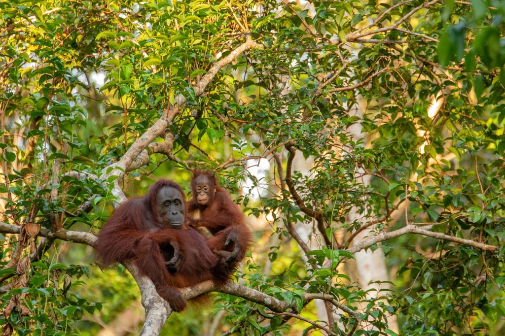 orangutan 3985939 1280 1024x682 - Why you should pay more attention to your chocolate ingredients...